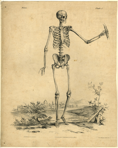 skeleton anatomical engraving